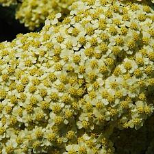 ACHILLEA 'Coronation Gold', Fernleaf Yarrow, Milfoil