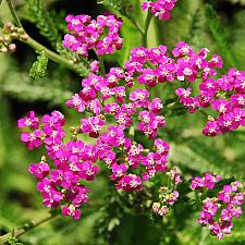 ACHILLEA Pink Island Form, Yarrow (native to the Channel Islands)