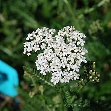 ACHILLEA millefolium 'White Beauty', Yarrow