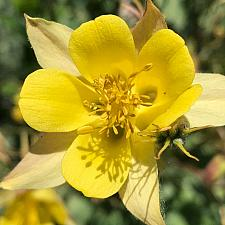 AQUILEGIA chrysantha, Golden Spur Columbine