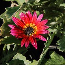ARCTOTIS hybrid 'Pink Sugar', African Daisy