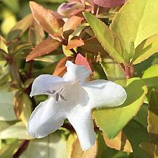 ABELIA x grandiflora 'Paradise Punch', Abelia