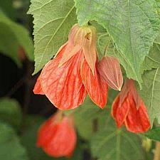 ABUTILON x hybridum 'Cristina', Flowering Maple, Chinese Lantern