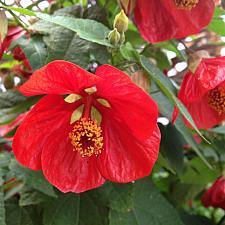 ABUTILON 'Lucky Lantern Red', Dwarf Flowering Maple, Chinese Lantern