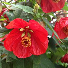 ABUTILON 'Lucky Lantern Red', Dwarf Flowering Maple, Chinese Lantern