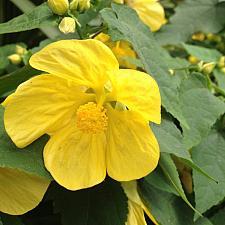 ABUTILON 'Lucky Lantern Yellow', Dwarf Flowering Maple, Chinese Lantern