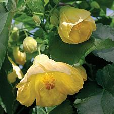 ABUTILON x hybridum 'Moonchimes', Flowering Maple, Chinese Lantern