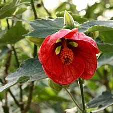 ABUTILON 'Red Princess', Flowering Maple, Chinese Lantern
