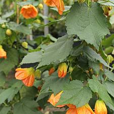 ABUTILON 'Victor Reiter', Flowering Maple, Chinese Lantern