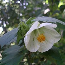 ABUTILON x hybridum 'White', Flowering Maple, Chinese Lantern