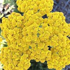 ACHILLEA 'Little Moonshine', Yarrow, Milfoil