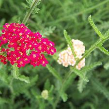ACHILLEA millefolium 'Paprika', Yarrow, Milfoil (Galaxy Hybrid)