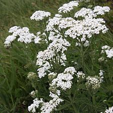ACHILLEA millefolium 'Sonoma Coast', Yarrow, Milfoil