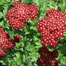 ACHILLEA millefolium 'Strawberry Seduction', Seduction Series Yarrow