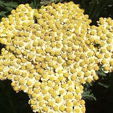 ACHILLEA millefolium 'Sunny Seduction', Seduction Series Yarrow