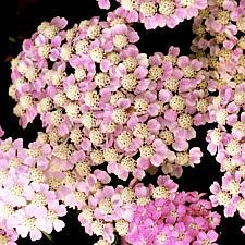 ACHILLEA millefolium 'Wonderful Wampee', Tutti Frutti Series Yarrow