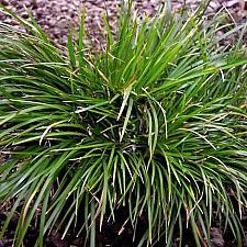 ACORUS gramineus 'Pusillus', Dwarf Japanese or Grassy Sweet Flag
