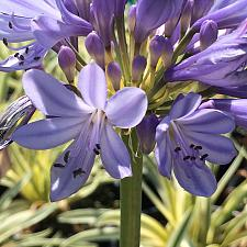 AGAPANTHUS africanus cv 'Ponto's Queen of the Nile', Lily-of-the-Nile