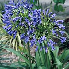 AGAPANTHUS praecox ssp. orientalis 'Stevie's Wonder', Lily-of-the-Nile
