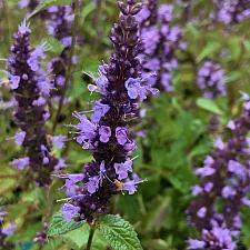 AGASTACHE rugosa 'Little Adder', Anise Hyssop, Hummingbird Mint