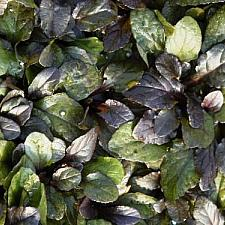 AJUGA reptans 'Bronze Beauty', Carpet Bugle, Bugleweed