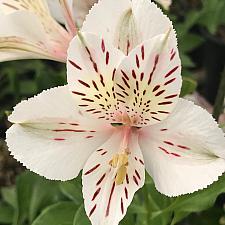 ALSTROEMERIA 'Florist White', Peruvian Lily