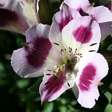 ALSTROEMERIA 'Inticancha Passion', Peruvian Lily