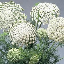 AMMI visnaga 'Green Mist', False Queen Anne's Lace, Laceflower