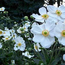 ANEMONE x hybrida 'Honorine Jobert', Japanese Anemone