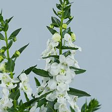 ANGELONIA angustifolia Alonia 'Big Snow', Summer Snapdragon