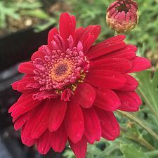 ARGYRANTHEMUM Go Daisy 'Fully Ruby', Marguerite Daisy