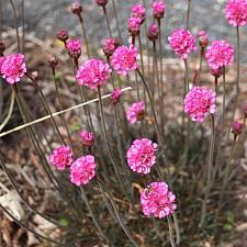 ARMERIA maritima 'Rubrifolia', Common Thrift, Sea Pink