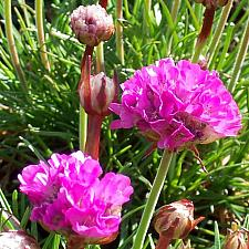 ARMERIA maritima 'Splendens', Common Thrift, Sea Pink