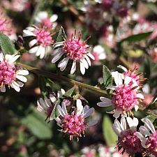 ASTER lateriflorus 'Lady in Black', Aster