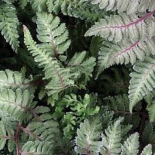 ATHYRIUM nipponicum 'Pictum' (A. goeringianum 'Pictum'), Japanese Painted Fern