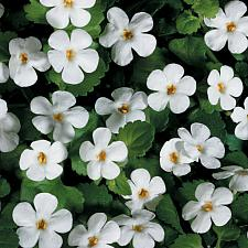 SUTERA hybrid Snowstorm 'Giant Snowflake', Bacopa