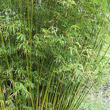 BAMBUSA multiplex, Clumping Bamboo