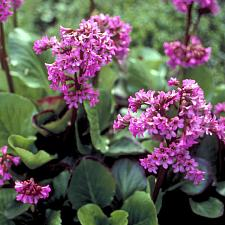 BERGENIA cordifolia 'Winter Glow', Heartleaf Bergenia