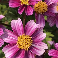 BIDENS ferulifolia 'Pretty in Pink', Bidens