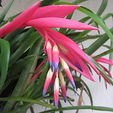 BILLBERGIA nutans, Queen's Tears
