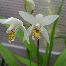BLETILLA striata 'Alba', Chinese Ground Orchid