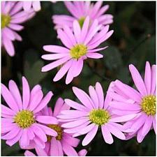 BRACHYSCOME hybrid Surdaisy 'Pink', Swan River Daisy