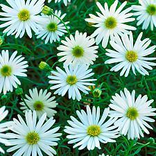 BRACHYSCOME hybrid Surdaisy 'White', Swan River Daisy