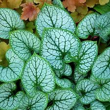 BRUNNERA macrophylla 'Jack Frost', Siberian Bugloss, Forget-Me-Not, Alkanet