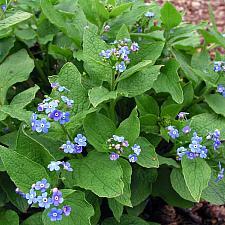 BRUNNERA macrophylla, Siberian Bugloss, Forget-Me-Not, Alkanet