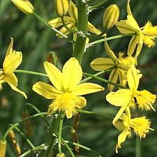 BULBINE frutescens - yellow form, Stalked Bulbine (syn. B. caulescens)