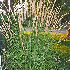 CALAMAGROSTIS x acutiflora 'Karl Foerster', Foerster's Feather Reed Grass