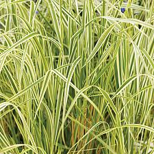 CALAMAGROSTIS x acutiflora 'Overdam', Feather Reed Grass