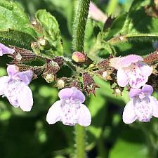 CALAMINTHA nepeta 'Lilac', Lilac calamint