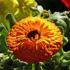 CALENDULA officinalis 'Maayan Orange', Organic Calendula